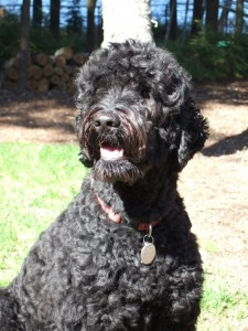 Black Australian Labradoodle - Adopt Yours!