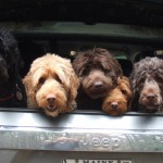 Group of tan and black Labradoodles sitting in a truck