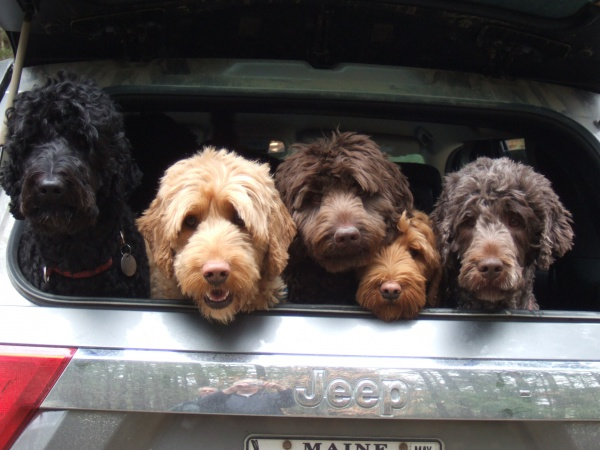 Australian Labradoodle Service Dogs For Sale in ME | Pine