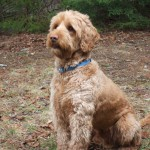 One of our beautiful Australian Labradoodle Puppies For Sale | Pine State Australian Labradoodles