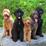 Group of tan and black Labradoodles sitting on a rock