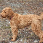 Tilly Austrailian Labradoodle