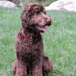 Pine State Chocolate Australian Labradoodle
