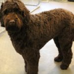 Chocolate Standard Labradoodle