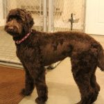 Penny Lane Chocolate Labradoodle