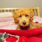 Labradoodle on a bed